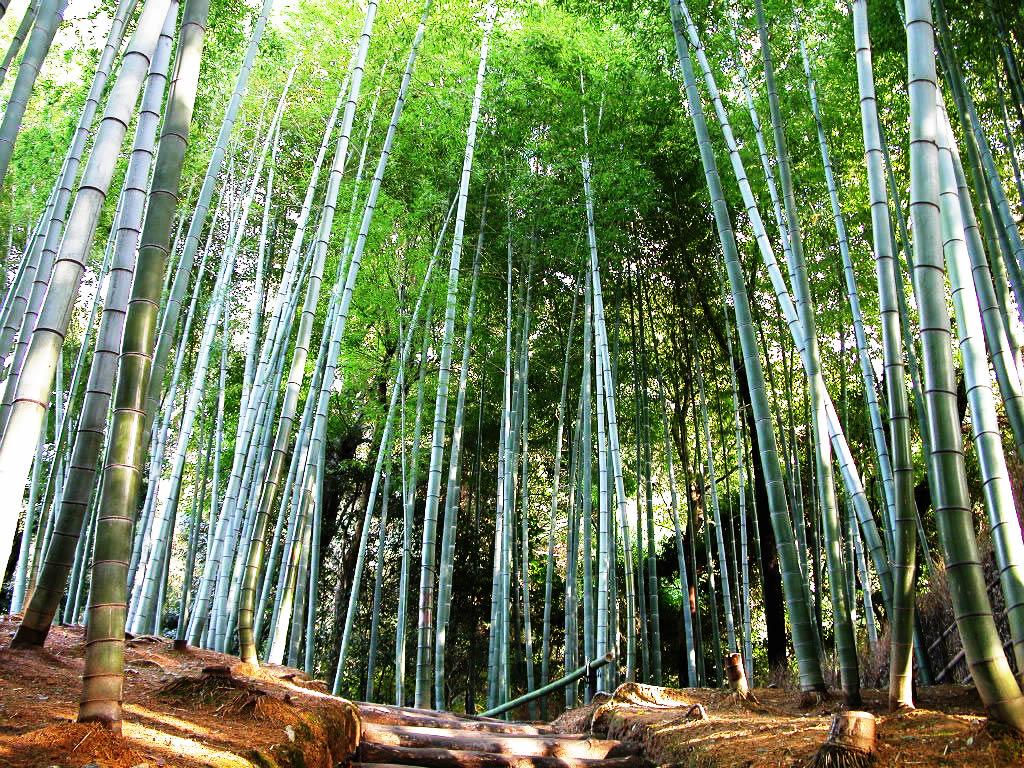 [Image: bamboo-tree.jpg]