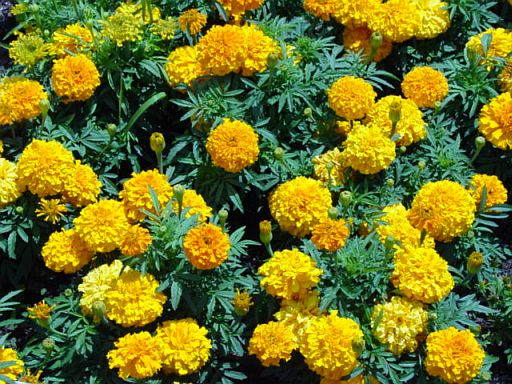 Let 39 S Plant Marigolds For Medicinal Purposes