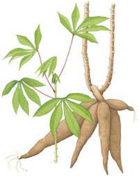 articles about cassava