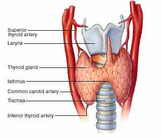 thyroid gland and the thyroid hormones, Human Body