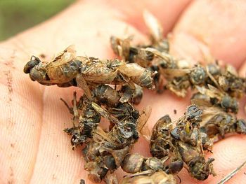 colony collapse disorder Disappearing bees: colony collapse disorder (ccd) - disappearing bees are a major problem affecting the beekeeping industry learn about disappearing bees and what could be causing colony collapse disorder.