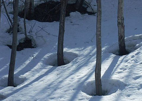 Bamboo tree melting the snow