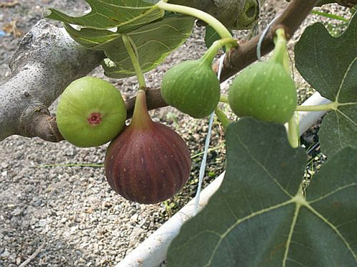 Fig Tree Ful Herbal Solution