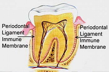 periodontal tendon article