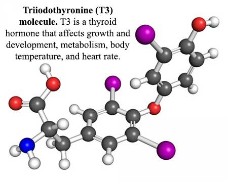 T3 Thyroid Hormone